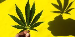 Legalization Cannabis Marijuana Cato Institute Study Crime