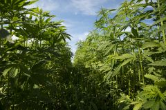 Hemp Rule Usda Usda Staff Industry Final Rule